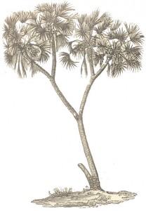 Pyoenix-Dactylifera
